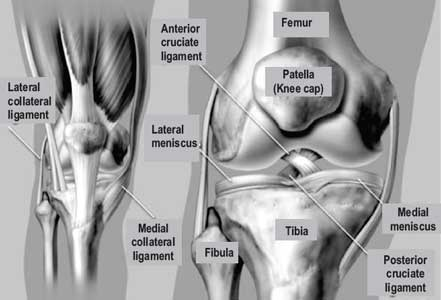 How is the knee joint formed